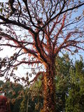 RED TREE. THIS TREE HAS NO GREEN LEAVES IN THE AUTUMN, BUT THE PLANT MADE IT LIKE A TREE WITH FLOWERS,THE BIG NATURE, AMAZING Royalty Free Stock Photos
