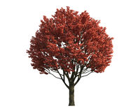 Red Tree isolated on a white background Stock Image