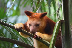 Red Tree Kangaroo. Eating the leaves off a palm tree after a light morning rain Royalty Free Stock Photo