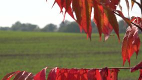 Red tree leaf in wind to verdant winter crop field at day. 4K. Focus change of red tree leaf swinging in wind to verdant winter crop field at autumn day. 4K UHD stock footage