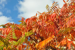 Red tree leaves Royalty Free Stock Photo
