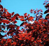 Red Tree Leaves in Sunshine Royalty Free Stock Image