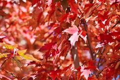Red tree leaves Stock Photography