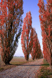 Red Tree-lined avenue in Italy. Rows of trees, tree-lined street in autumn with red falling leaves and blue sky. Black Poplar (Populus nigra). Italy royalty free stock photography