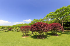 Red tree in the meadow of gulangyu island Stock Photos