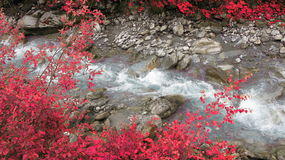 Red tree near floating river Royalty Free Stock Photos