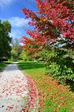 Red tree in the park royalty free stock images