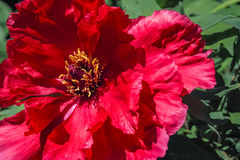 Red tree peony flower in full bloom Stock Photography