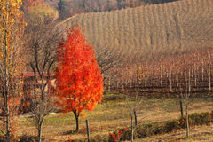 Red tree. Piedmont, Italy. Royalty Free Stock Photo