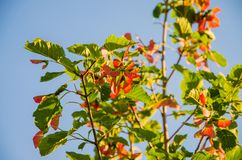 Red seeds of a tree. Red tree seeds against the sky Royalty Free Stock Photography