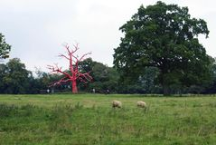 Red tree and sheep in Croft Castle landscape, England Royalty Free Stock Photo