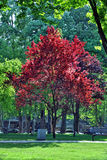 Red tree Royalty Free Stock Images