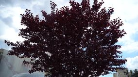 Red tree and strong wind good for meditation.  stock footage