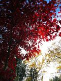 Red tree with sunlight stock photos
