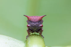 Red treehopper. On leaf in thailand Stock Photography