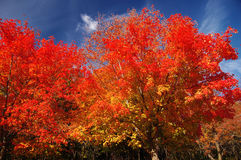 Red trees Royalty Free Stock Image
