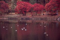 Red trees with ducks royalty free stock photos