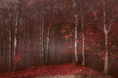 Red trees in foggy forest. Gloomy dark autumn day. Filtered image Stock Photography