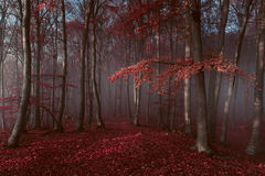 Red trees in foggy forest. Gloomy dark autumn day. Filtered image Royalty Free Stock Images