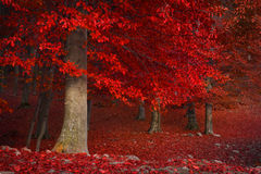 Red trees in the forest Stock Photos