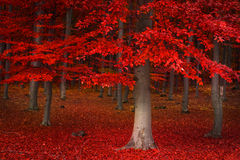 Red trees in the forest. During fall Royalty Free Stock Photos