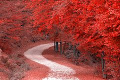Autumn forest. Colorful autumn misty forest in red fall stock photography