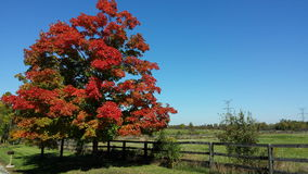Red treet on a blue sky. Red tree at the beginning of autumn, on a perfect blue sky, in Glen Eden, Ontario, Canada Royalty Free Stock Image