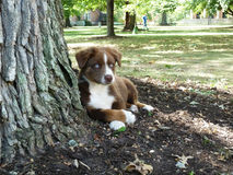 Red Tri Australian Shepherd Puppy by tree Royalty Free Stock Images