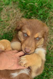 Red Tri Color Tricolor Australian Shepherd Puppy Aussie Stock Photography
