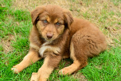 Red Tri Color Tricolor Australian Shepherd Puppy Aussie Stock Photo