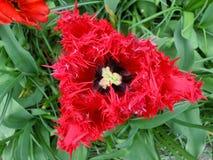 Red triangular Tulip flower, horizontal Stock Photo