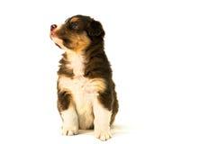 Red Tricolor Australian Shepherd puppy Royalty Free Stock Photo