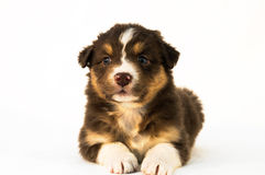 Red Tricolor Australian Shepherd puppy Stock Images