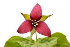 Red trillium stock photography