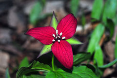 Red Trillium Stock Photos