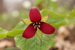 Red trillium Royalty Free Stock Photo