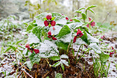 Red Trilliums with Falling Snow. Red Trillium erectum caught in an unexpected late spring snowfall. A reminder to gardeners against planting too early in the stock photos