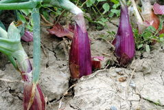 Red Tropea onions still in soil. Red onions still in garden soil Royalty Free Stock Photography