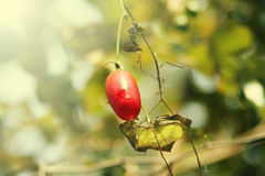 Red trophical berry. On a green background Stock Photo