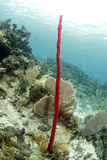 Red tropical erect rope sponge, utila, honduras Stock Photo