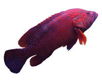 Red tropical fish Stock Images
