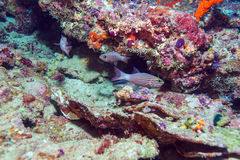 Red Tropical Fish near Coral Reef, Maldives Stock Image