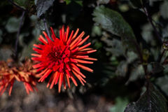 Red tropical flower in bloom Royalty Free Stock Photography