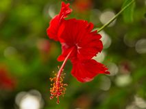 A Red Tropical Flower with blurred background royalty free stock photography