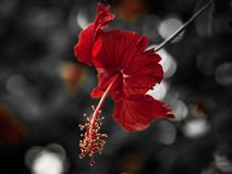A Red Tropical Flower with blurred background royalty free stock photo