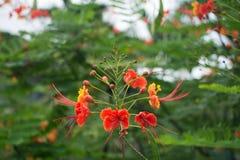 Red tropical flower Caesalpinia pulcherrima Royalty Free Stock Photography