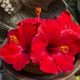 Red tropical flower- hibiscus Stock Images