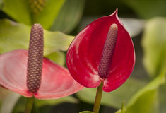 Red Tropical Flower Royalty Free Stock Images