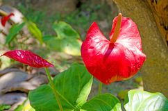 Red tropical flower with the yellow middle of Anthurium. Red tropical flower with yellow middle of Anthurium stock images
