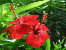 Red tropical flowers Royalty Free Stock Photography